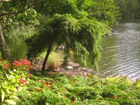 Tsuga canadensis 'Nana Gracilis' (Dwarf Weeping Hemlock), Microbiota decussata ( Siberian Cypress) and Sedum Autumn Joy