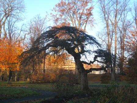 Ulmus glabra 'Camperdownii' (Camperdown elm tree) by the Soldier's Memorial.