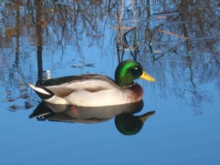 Mallard on Griffin's Pond