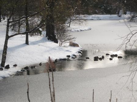 Ducks on Griffin's pond at the Halifax Public Gardens.