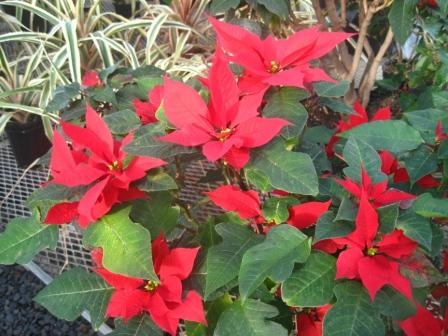 Euphorbia pulcherrima (Poinsettia) in the greenhouse at the Halifax Public Gardens.