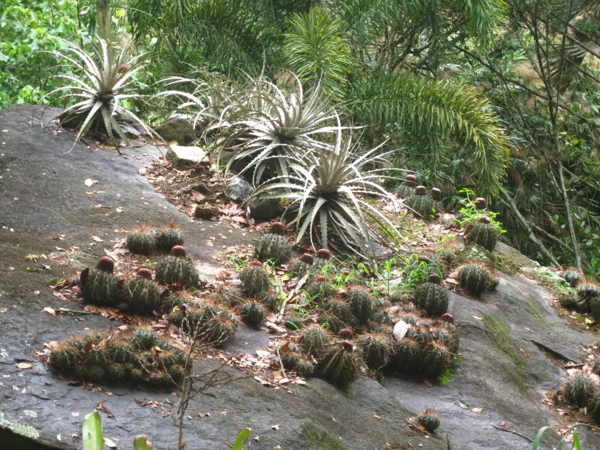 Cacti and Aloe grow on a rock outcrop at Burle Marx's garden outside Rio de Janeiro Brazil.