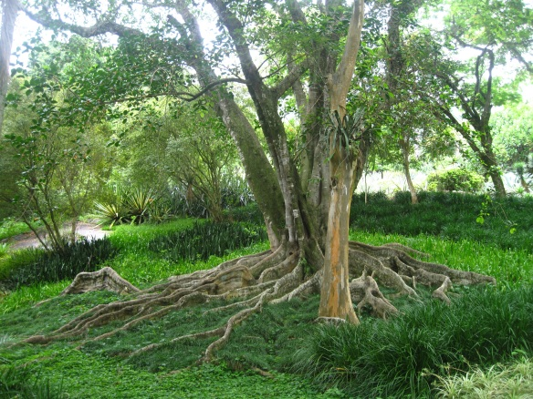80 year old tree in the gardens of Burle Marx outside Rio De Janeiro, Brazil.