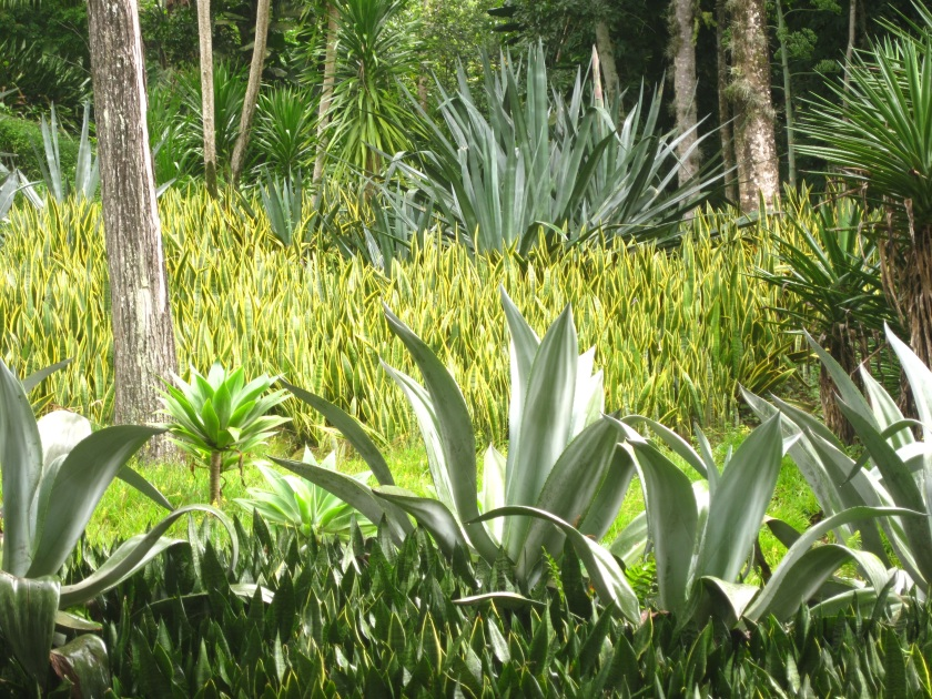 Agaves and Sansevieria trifasciata Snake plant in Burle Marx's garden in Rio de Janeiro, Brazil.