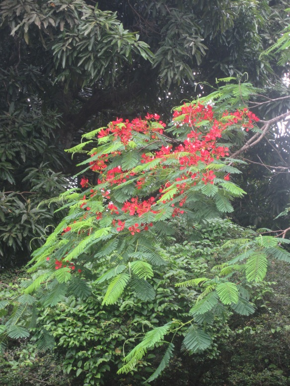 Delonix regia (Royal Poinciana / Flamboyant) growing in the Burle Marx garden in Rio de Janeiro, Brazil.
