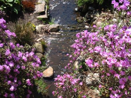 Azaleas below the upper bridge at the Halifax Public Gardens