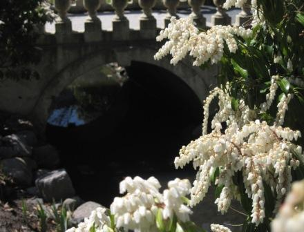 Pieris japonica (Japanese andromeda) by the lower bridge at the Halifax Public Gardens