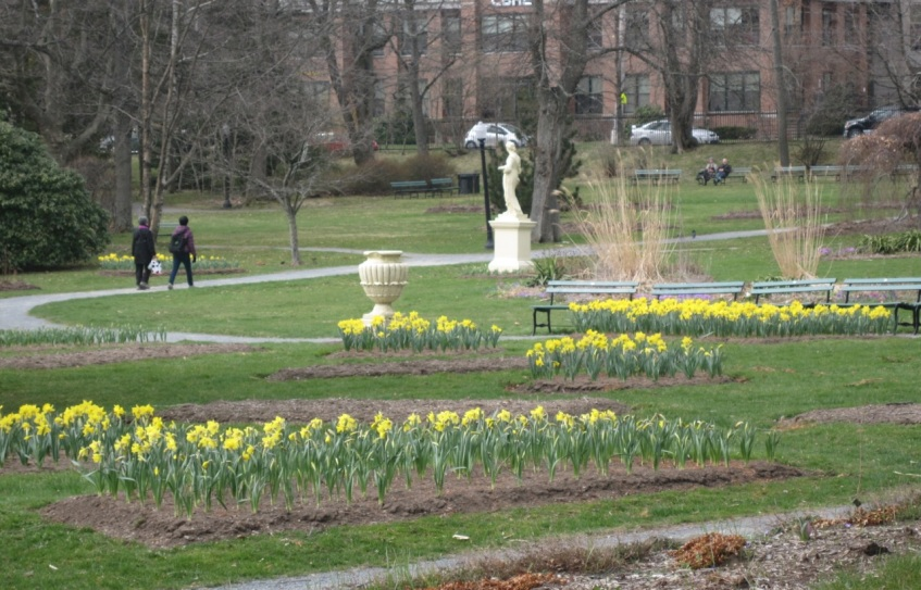 Daffodils in the geometric beds at the Halifax Public Gardens.