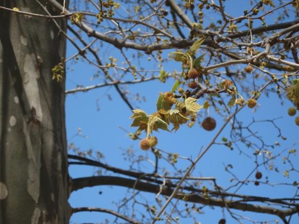 Platanus tree at Alfabia gardens Mallorca