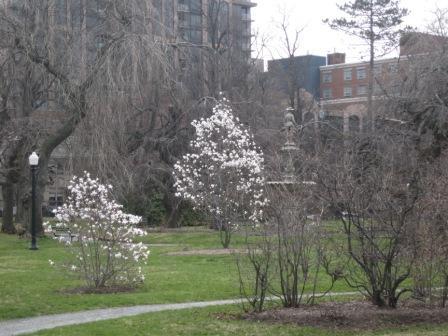 Magnolias and the Boer War Memorial Fountain at the Halifax Public Gardens.