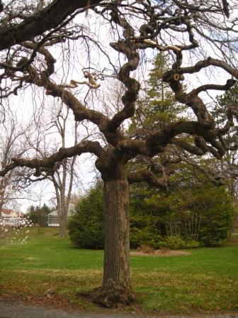 Ulmus Camperdownii ( Camperdown Elm) at the Halifax Public Gardens.