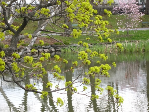 Acer platanoides (Norway maple tree) on Griffin's pond in the Halifax Public Gardens