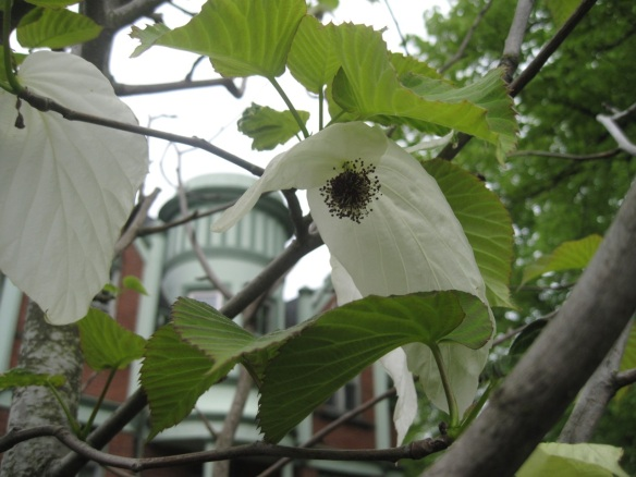 Davidia involucrata (handkerchief tree) at the Halifax Public Gardens