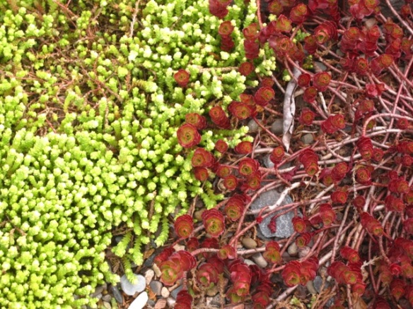 Sedums in the tropical display bed at the Halifax Public Gardens