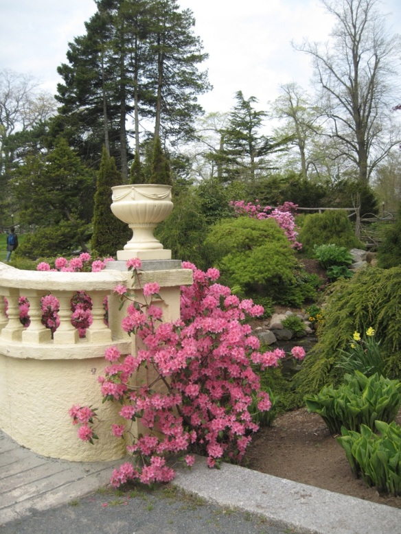 Azalea by the upper bridge of the Halifax Public Gardens