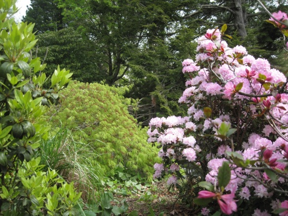 Rhododendron and Acer palmatum dissectum (Laceleaf Japanese maple) at the Halifax Public Gardens