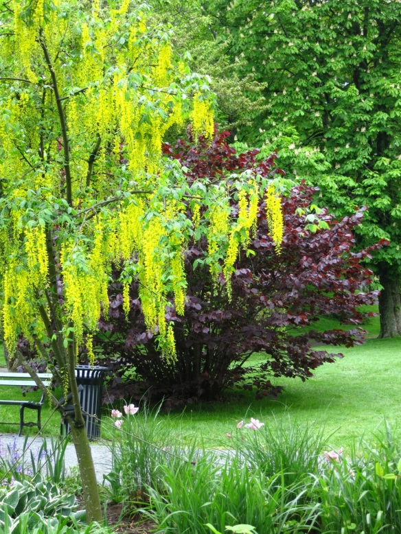 Laburnum (Golden chain tree) at the Halifax Public Gardens