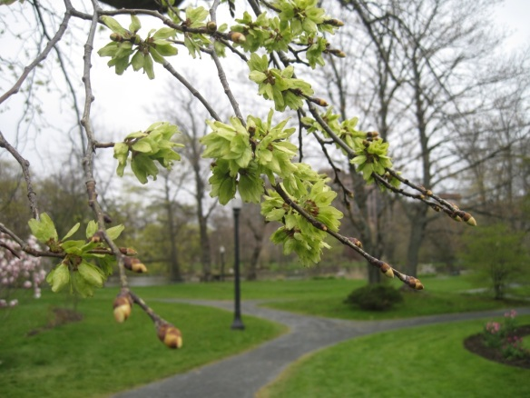 Ulmus glabra 'Camperdownii'(Camperdown elm tree) at the Halifax Public Gardens