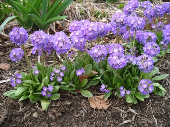 Primulas in the perennial beds at the Halifax Public Gardens