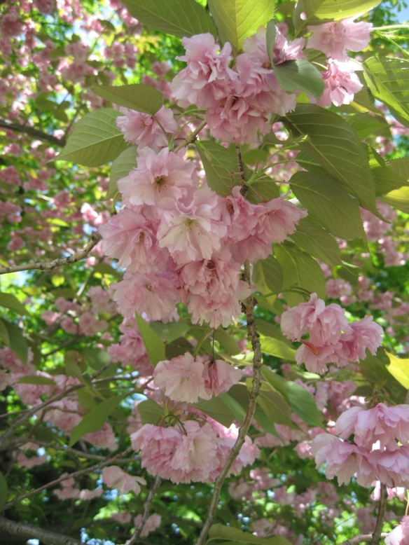 Prunus 'Pink Perfection' ('Pink Perfection' cherry tree) at the Halifax Public Gardens