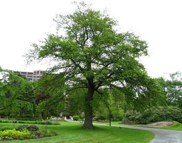 Quercus robur (English Oak tree) at the Halifax Public Gardens