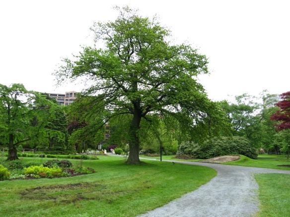 Quercus (Oak tree) at the Halifax Public Gardens