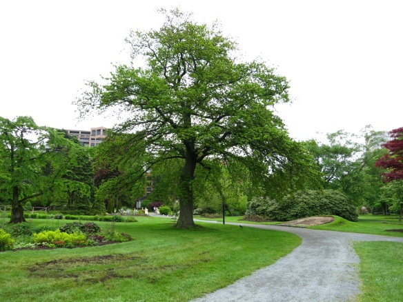 Quercus (Oak tree) at the Halifax Public Gardens