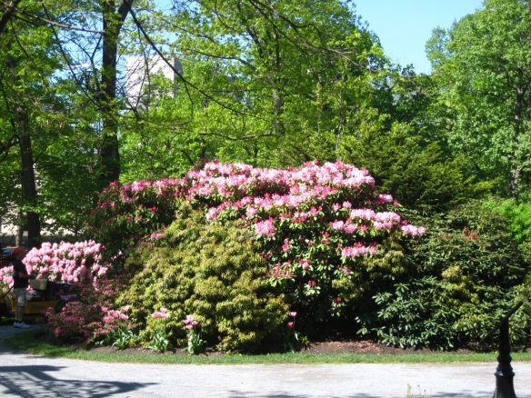 Rhododendrons by the main gates of the Halifax Public Gardens
