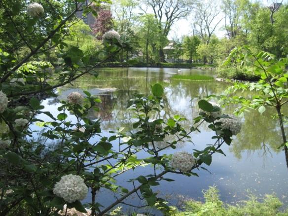 Viburnum by Griffins pond at the Halifax Public Gardens