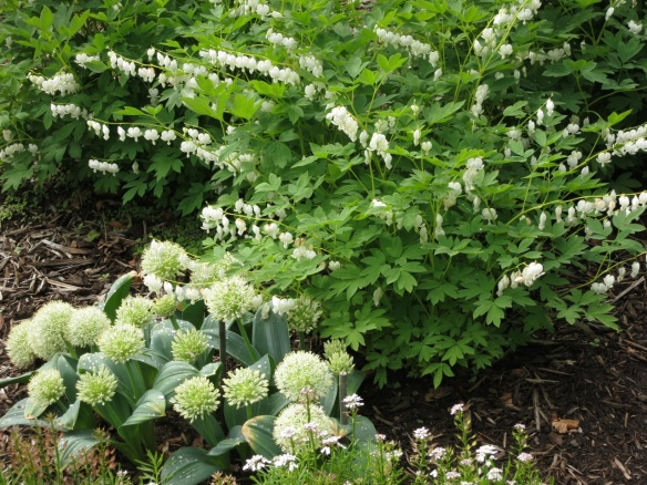 Aliums and Dicentra spectabilis alba (white Bleeding Hearts) at the Halifax Public Gardens
