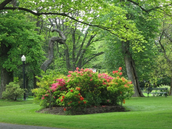 Azaleas and contorted trunk at the Halifax Public Gardens