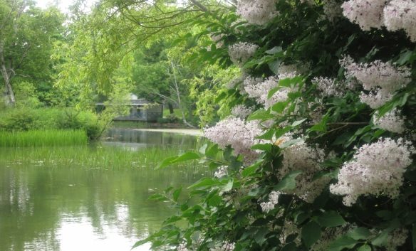 Lilacs on Griffins pond