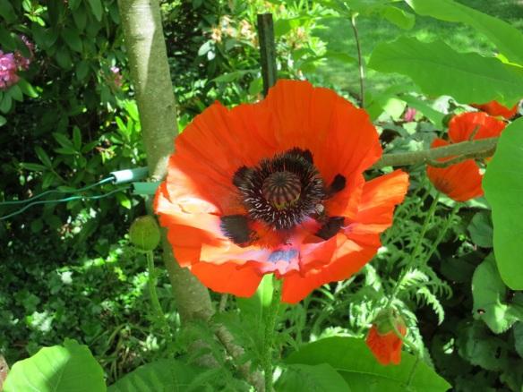 Papaver orientale (Oriental poppy) at the Halifax Public Gardens