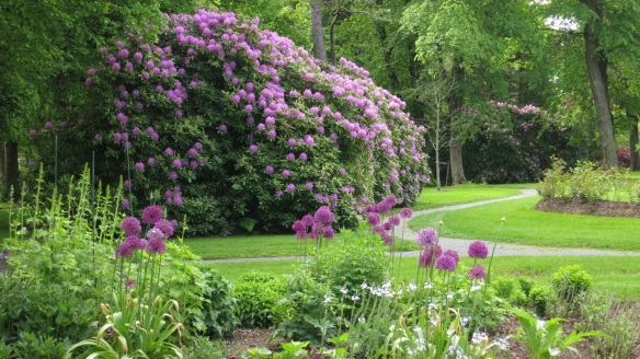Rododendrons and Aliums at the Halifax Public Gardens
