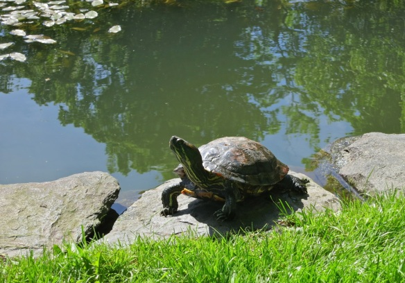 Turtle by Griffins pond at the Halifax Public Gardens