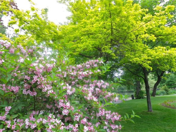 Weigela and Quercus alnifolia (golden oak tree) at the Halifax Public Gardens