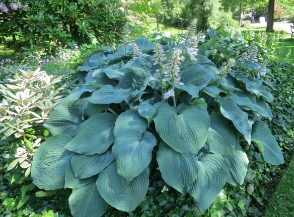 Blue Hosta at the Halifax Public Gardens