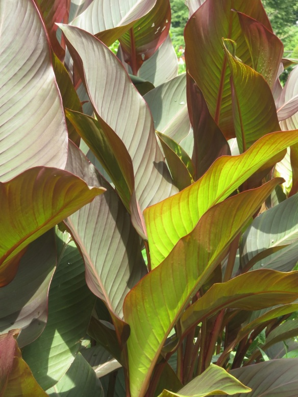 Canna at the Halifax Public Gardens