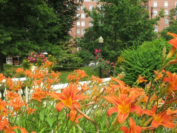 Hemerocalis (Daylilies) by the lower bridge of the Halifax Public Gardens