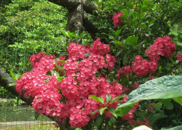 Kalmia (Mountain Laurel) at the Halifax Public Gardens
