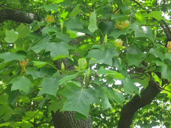 Liriodendron tulipifera (Tulip tree) at the Halifax Public Gardens