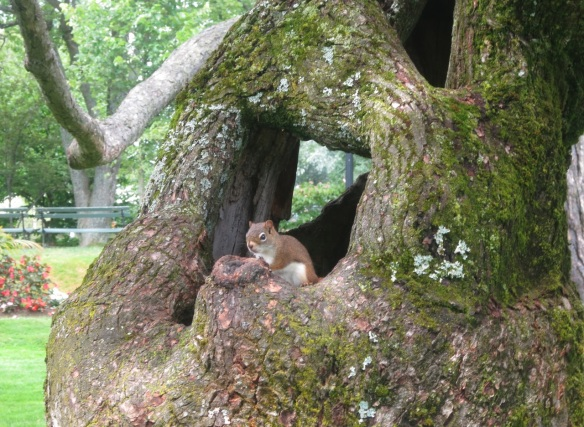 Squirrel at the Halifax Public Gardens
