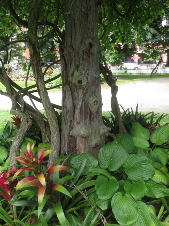 Vine growing up a tree at the Halifax Public Gardens
