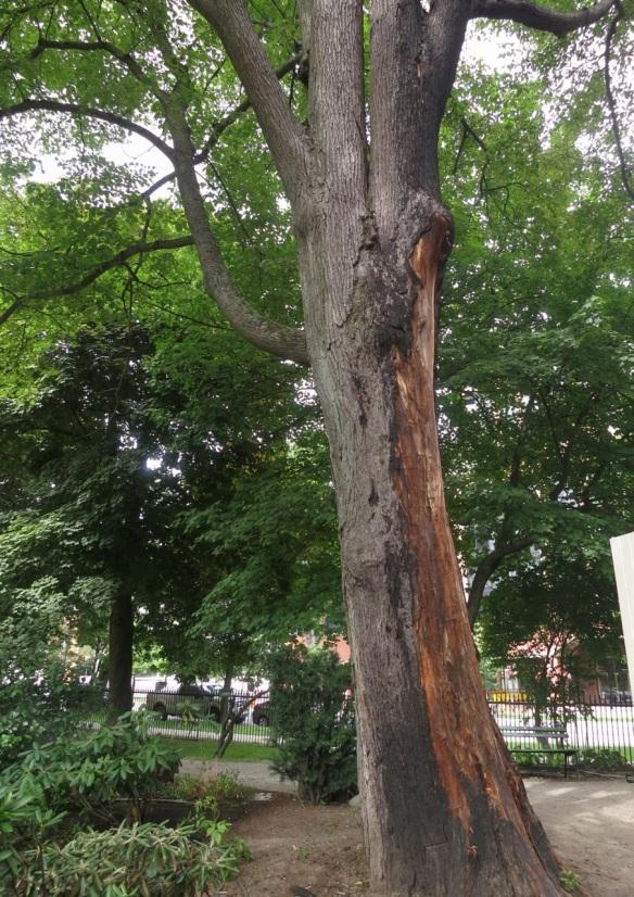 Burnt tree at the Halifax Public Gardens