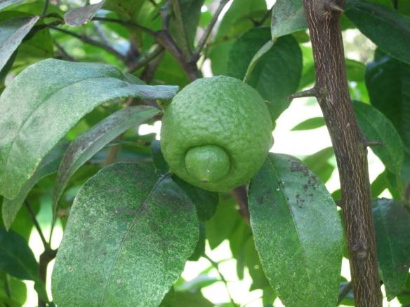 Citrus Tree at the Halifax Public Gardens
