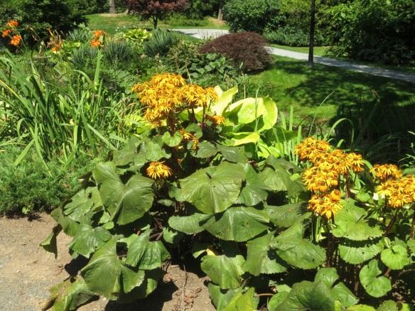 Ligularia at the Halifax Public Gardens