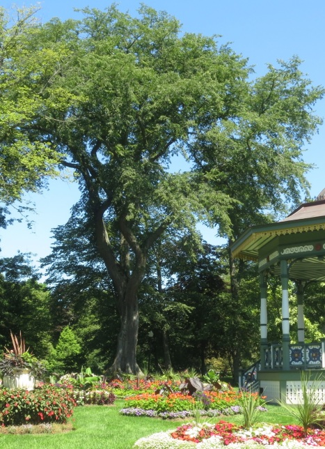 Madeline and Roy's elm tree on the Grande Aleé at the Halifax Public Gardens