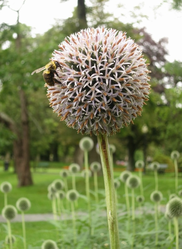 Globe thistle (Echinops sphaerocephalus) at the Halifax Public Gardens