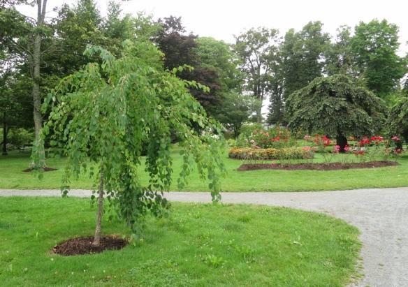 Cercidiphyllum japonicum f. pendulum (weeping katsura tree) at the Halifax Public Gardens