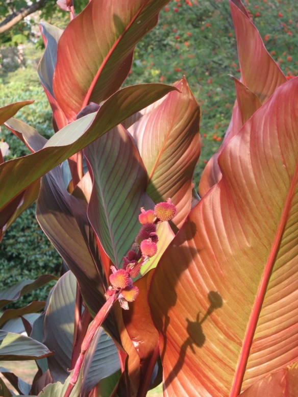 Canna leaves and seeds at the Halifax Public Gardens